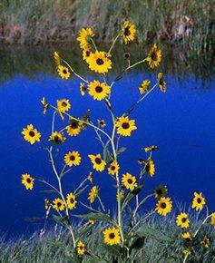 Pecos sunflower